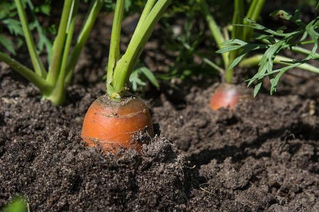 Rohe karotte mit spitzen wächst. landwirtschaft. nahaufnahme, makro. Premium Fotos