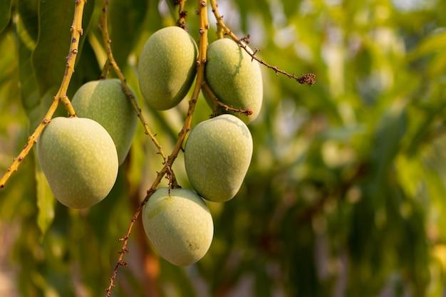 Rohe wilde grüne mangos, die an der niederlassung, nahaufnahme hängen Premium Fotos