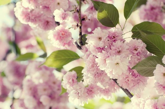 Romantischer hochzeits- oder gutscheinhintergrund mit kirschblüte-blüten in einem frühling. Premium Fotos
