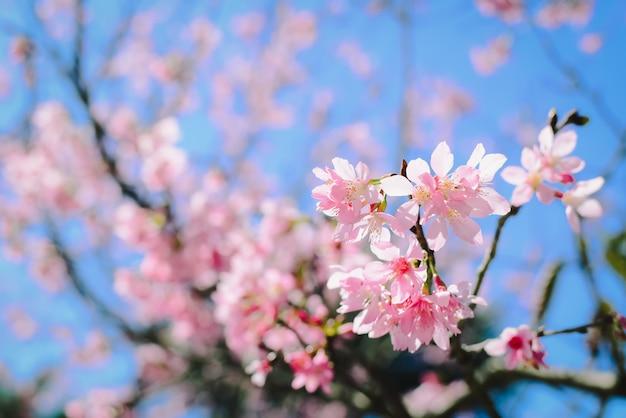 Rosa blüten auf der niederlassung mit blauem himmel während des frühlingsblühens Premium Fotos