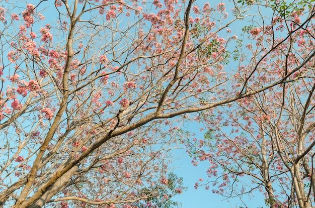 Rosa blumenblütenbäume im park mit blauem himmel, thailand Premium Fotos