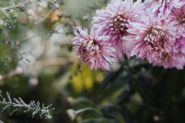 Rosa chrysanthemenblumen bedeckt mit reif Premium Fotos
