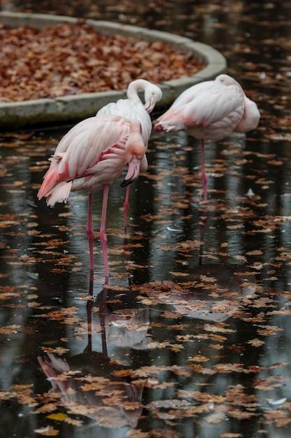 Rosa flamingo im zoo. herbstvogelreflexion. karibische oder afrikanische exotische wildvogelgruppe im wasser auf einem bein. Premium Fotos