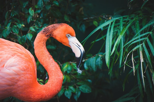 Rosa flamingo nahaufnahme Premium Fotos