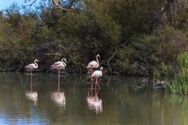 Rosa flamingofamilie thront auf dem wasser eines sees. Premium Fotos
