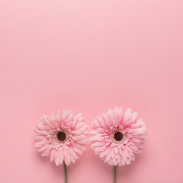 Rosa gänseblümchen auf rosa Kostenlose Fotos