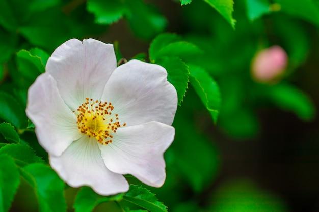 Rosa hagebuttenblume auf busch. Premium Fotos