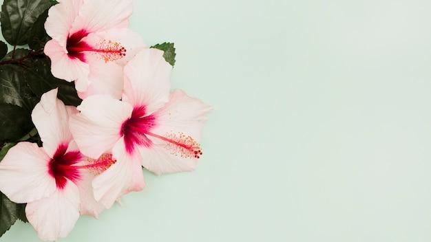 Rosa hibiscusblumen auf grünem pastellhintergrund Kostenlose Fotos