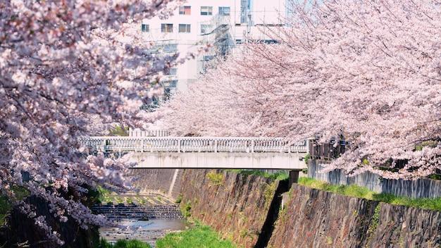Rosa kirschblüte oder kirschblüte, nagoya Premium Fotos