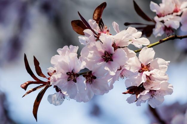 Rosa kirschblütenblüten, die auf einem baum blühen Kostenlose Fotos
