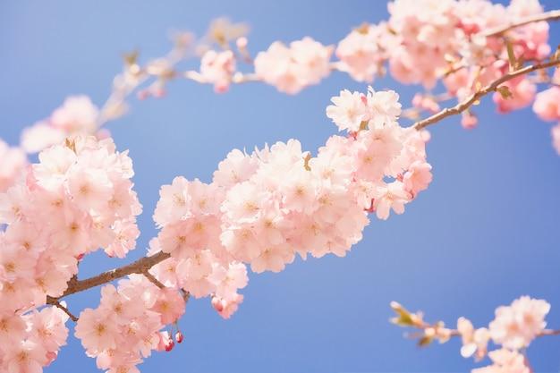 Rosa kirschblütenzweig in voller blüte. frühlingskonzept. Premium Fotos