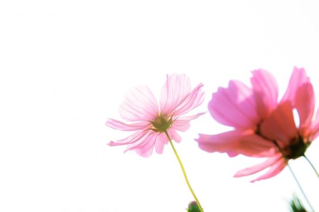 Rosa kosmos auf weißem hintergrund. Premium Fotos