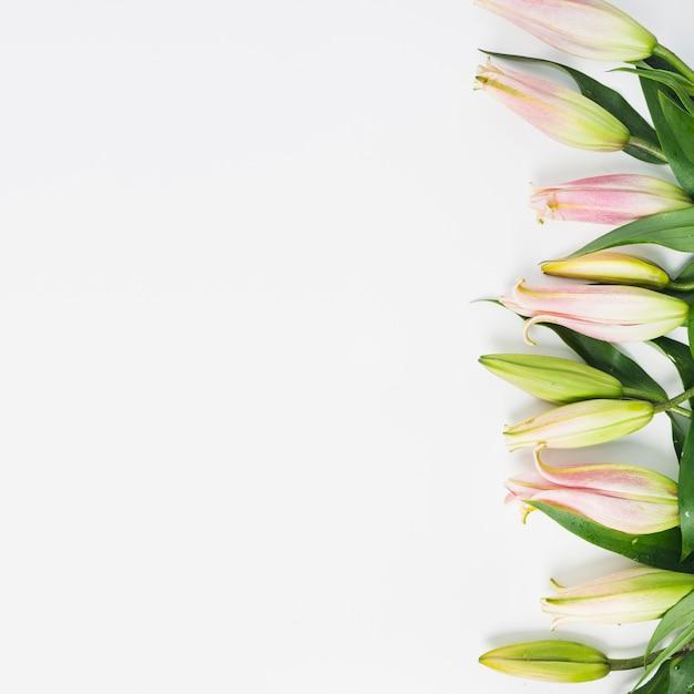 Rosa lilienblumenknospengrenze auf weißem hintergrund Kostenlose Fotos