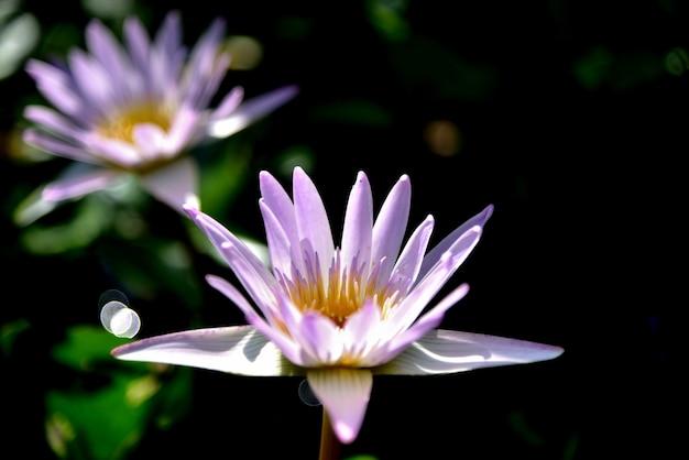 Rosa lotosblumen in der natur auf schwarzem hintergrund Premium Fotos