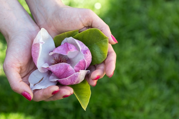 Rosa magnolie in der hand Premium Fotos