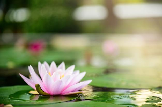 Rosa oder purpurrote blume des schönen lotos auf dem wasser nach regen im garten. Premium Fotos