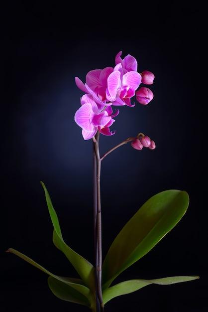 Rosa orchidee auf schwarzem backgorund Premium Fotos