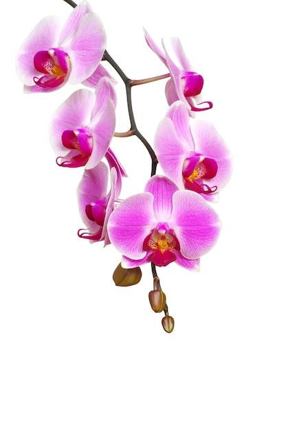 Rosa orchidee lokalisiert auf einem weißen hintergrund Premium Fotos