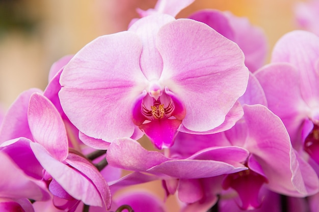 Rosa orchideen feier des internationalen frauentags Premium Fotos