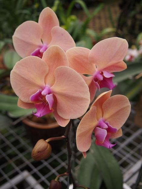 Rosa orchideenblumenpflanzen Premium Fotos