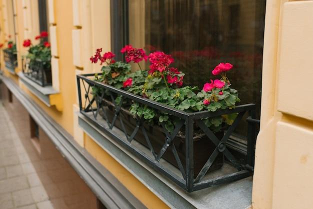 Rosa pelargonie blüht in vasen auf den fenstern des hauses Premium Fotos