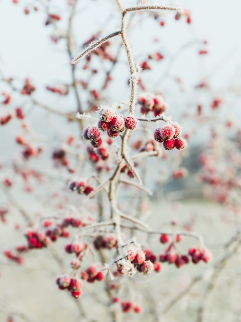 Rosa pfefferkornbeeren bedeckt mit schnee Kostenlose Fotos