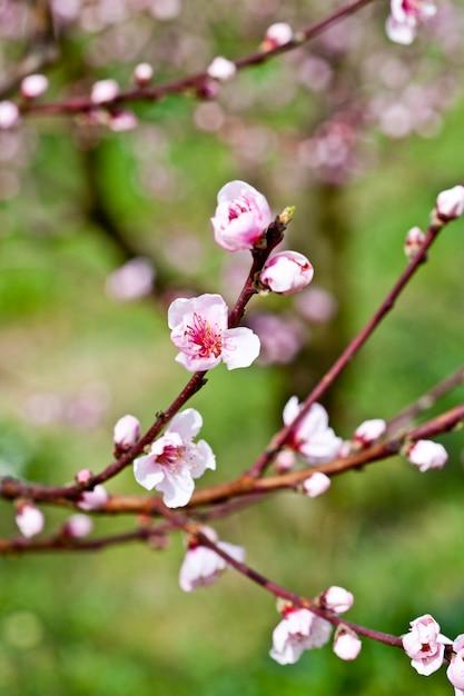Rosa pfirsichblumen. Premium Fotos