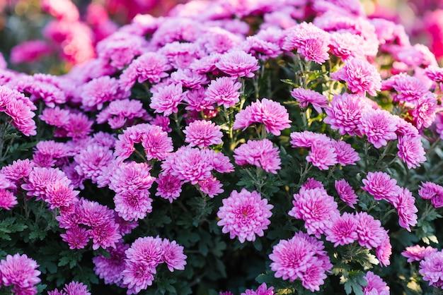 Rosa purpurrote chrysanthemen blühen im herbstgarten, mit blumen Premium Fotos