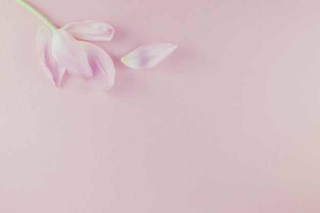 Rosa tulpe mit den blumenblättern auf rosa hintergrund legen flach Premium Fotos