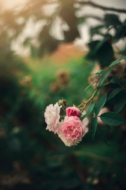 Rosa und weiße blumen Premium Fotos