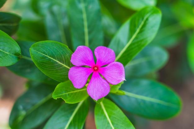 Rosafarbene blume im garten, westindisches singrün, mit platz für text Premium Fotos