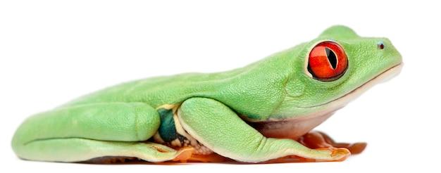 Rotäugiger baumfrosch agalychnis callidryas sitzt vor weißem hintergrund Premium Fotos