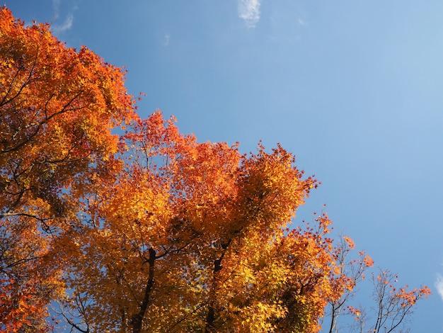 Rotahorn verlässt baum über blauem himmel Premium Fotos