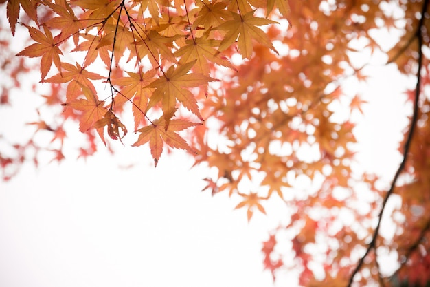 Rotahornblatt, japan-herbst Premium Fotos