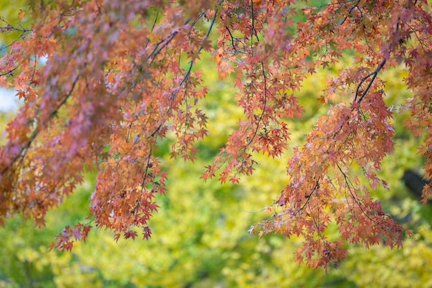 Rote ahornblätter mit unscharfem hintergrund. japan herbstsaison Premium Fotos