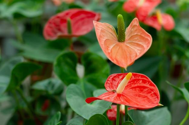 Rote anthuriumblüten mit grünen blättern Premium Fotos