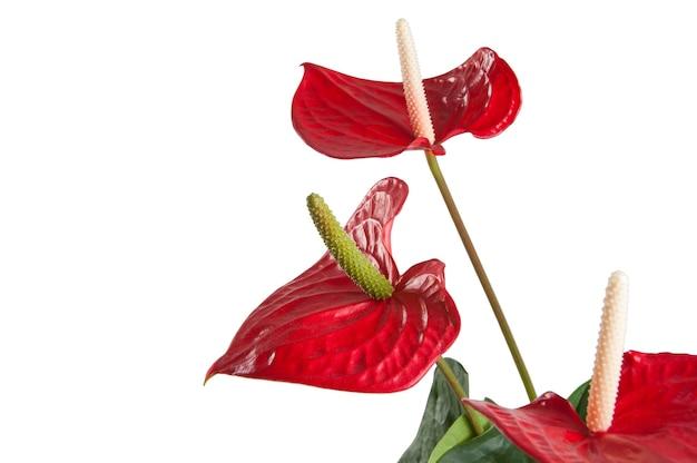 Rote anthuriumblumen lokalisiert auf weiß Premium Fotos