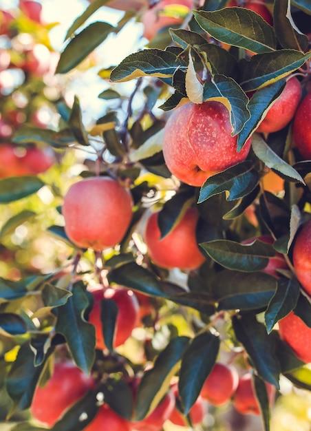 Rote apfelfrüchte auf baum schließen oben Kostenlose Fotos