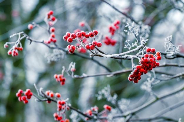 Rote beeren der eberesche im winter auf einem baum Premium Fotos