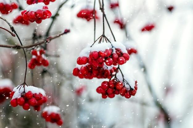Rote beeren von viburnum im winter auf einem baum während eines schneefalls Premium Fotos