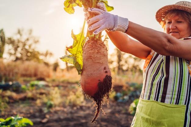 Rote-bete-ernte. landwirt zog rote beete aus dem boden und hielt sie fest. herbsternte. gemüse pflücken. Premium Fotos