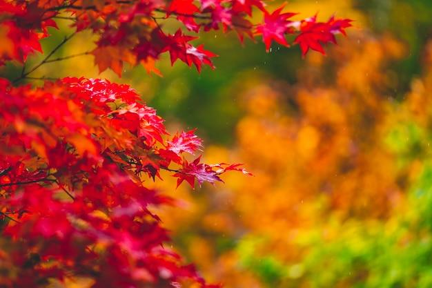 Rote blattfarbe während der herbstsaison in japan Premium Fotos