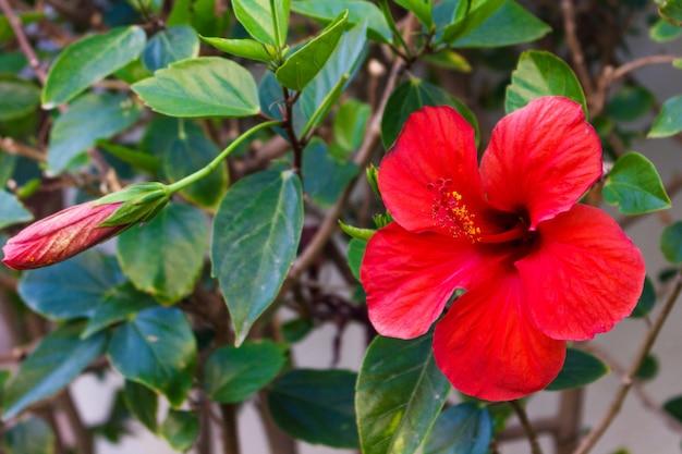 Rote blume der amaryllis auf dem grünen blatt Premium Fotos