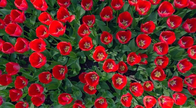 Rote frische tulpenblumen Premium Fotos