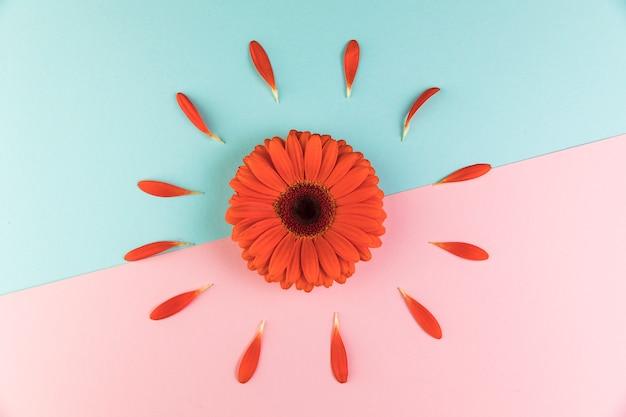 Rote gerberablume auf rosa und blauem doppelhintergrund Kostenlose Fotos