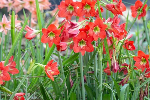 Rote hippeastrumblume oder rote amaryllisblumen Premium Fotos