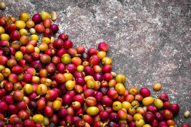 Rote kaffee-kirsche und gelbe kaffee-kirsche in der kaffeeplantage. Premium Fotos