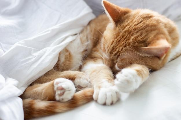 Rote katze, die in einem weißen bett schläft, müde katze, die in seinem bett döst. katze schläft in der krippe Premium Fotos