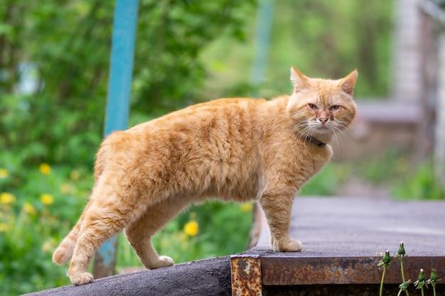 Rote katze mit wunden augen Premium Fotos