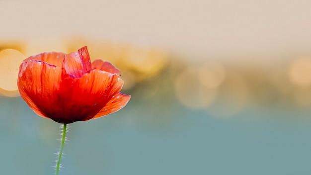 Rote mohnblume bei sonnenuntergang in einem sommerfeld Kostenlose Fotos
